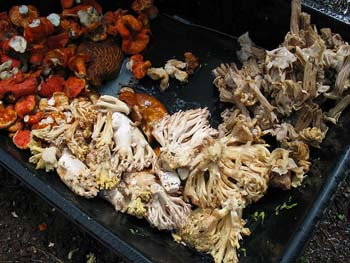 Trompas, Orejas de Ratones, corals